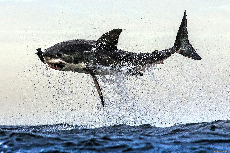 Косатка – хищный дельфин