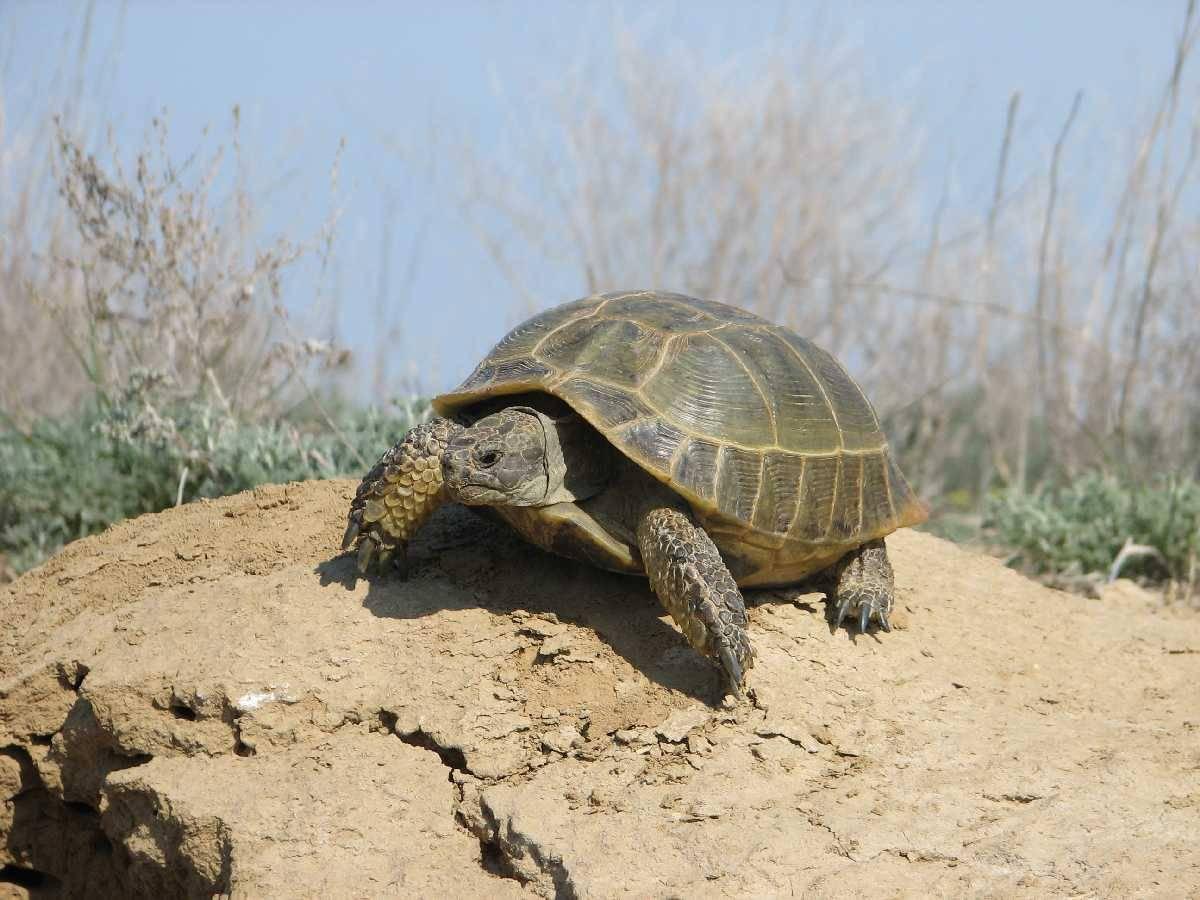Среднеазиатская черепаха — википедия. что такое среднеазиатская черепаха