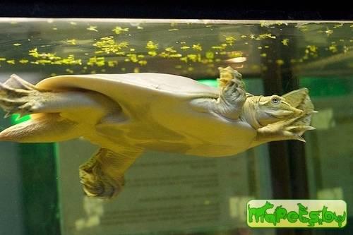 Трёхкоготные черепахи — википедия переиздание // wiki 2