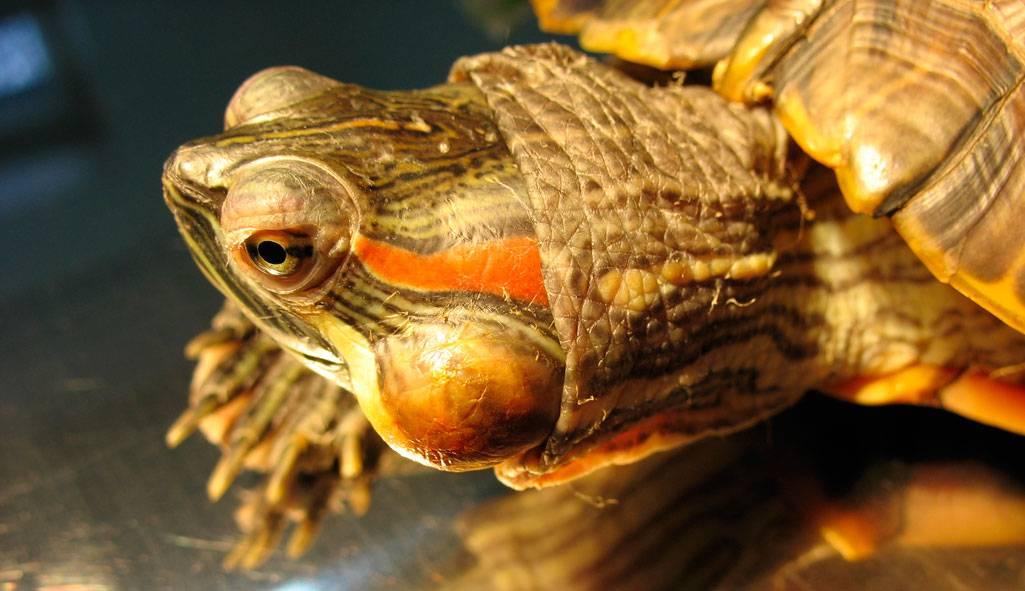 Диагностика и лечение отита у черепах