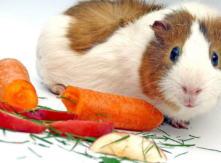 Яблоки: можно ли давать морским свинкам?