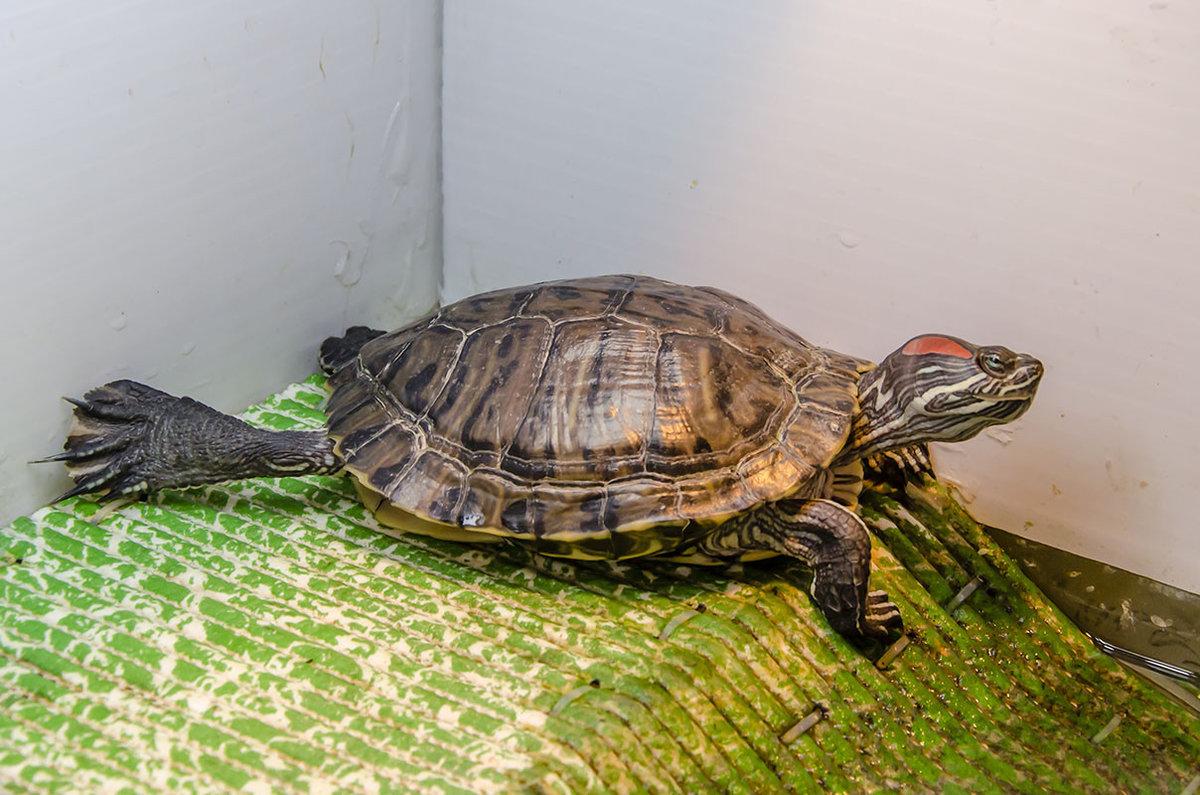 Определение возраста черепахи