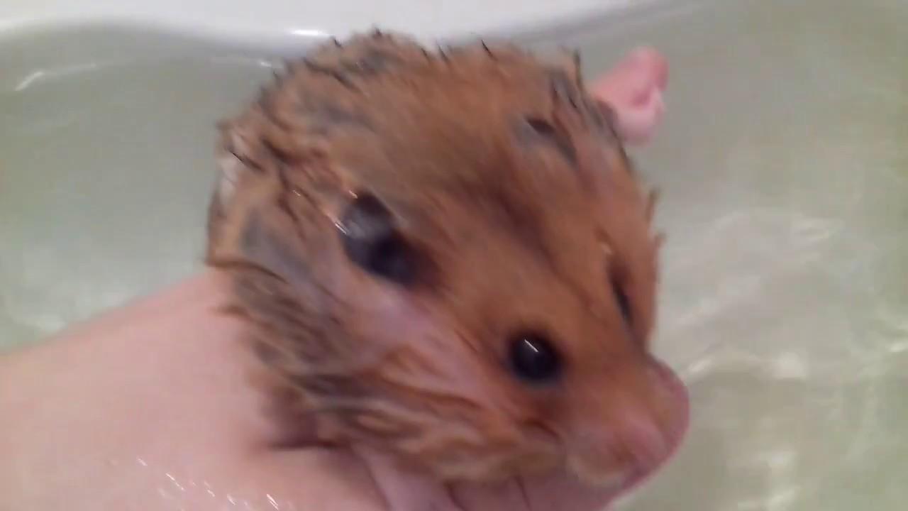 Можно ли мыть хомяков в воде?
