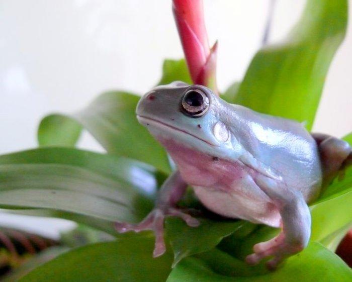 Австралийская квакша (белая, голубая, коралловопалая)