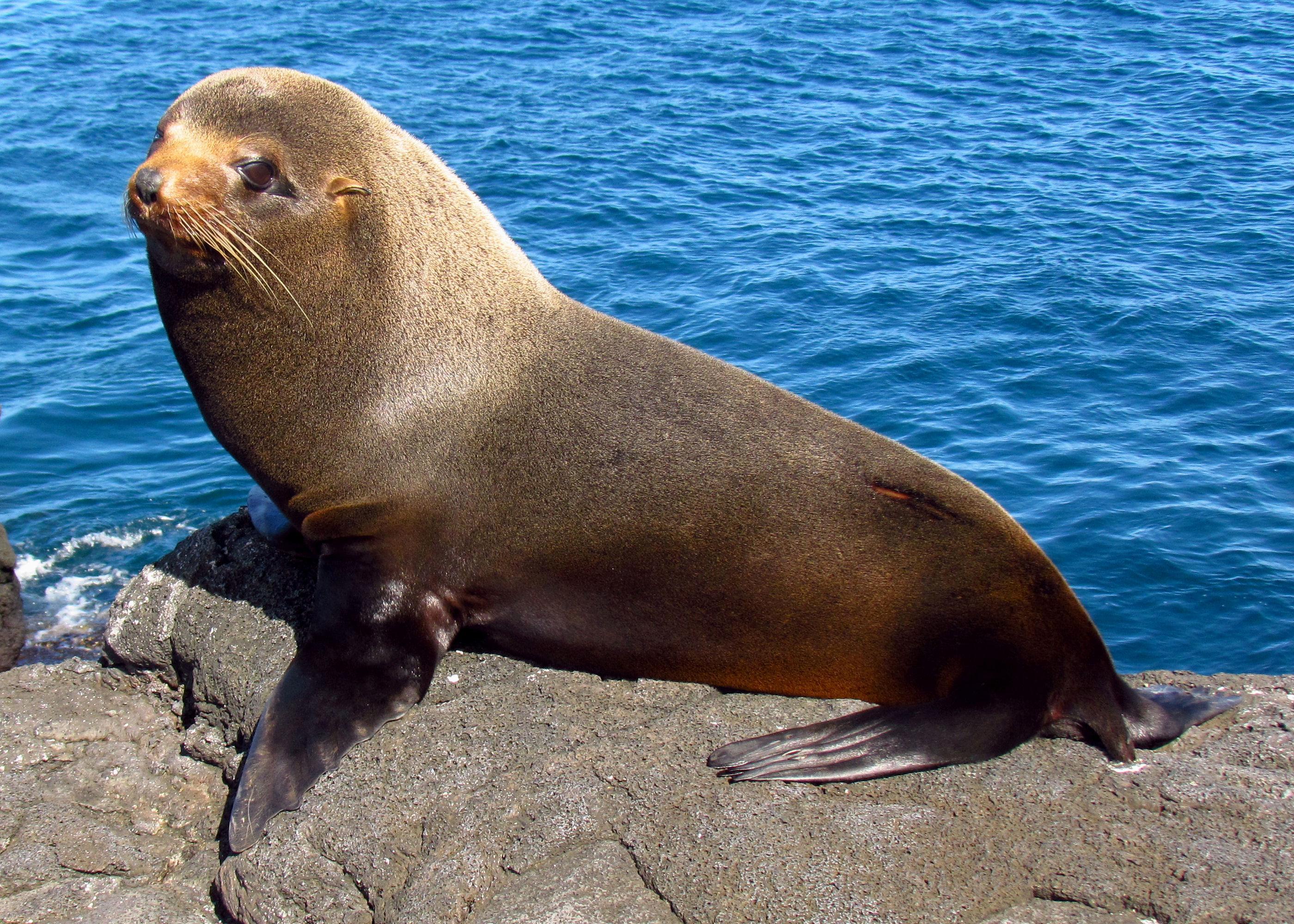 Сивуч (морской лев Стеллера)