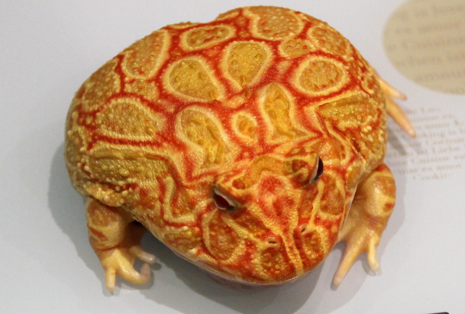 Лягушка рогатка в домашних условиях
