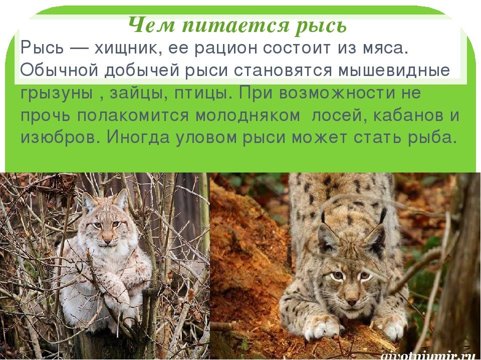Рысь: виды, описание, образ жизни, поведение, питание