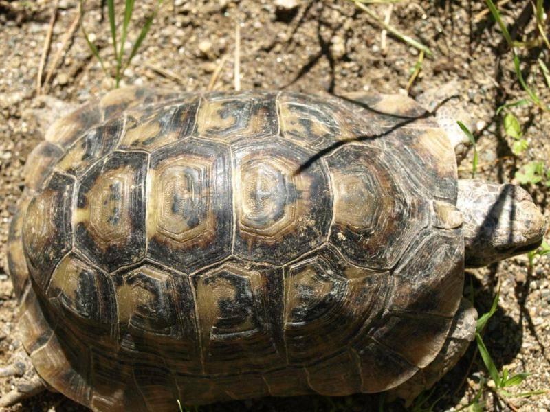 Средиземноморская черепаха википедия