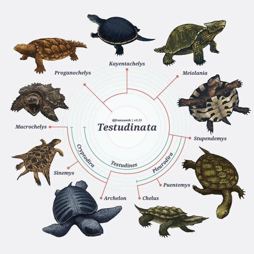 Черепахи | энциклопедия кругосвет