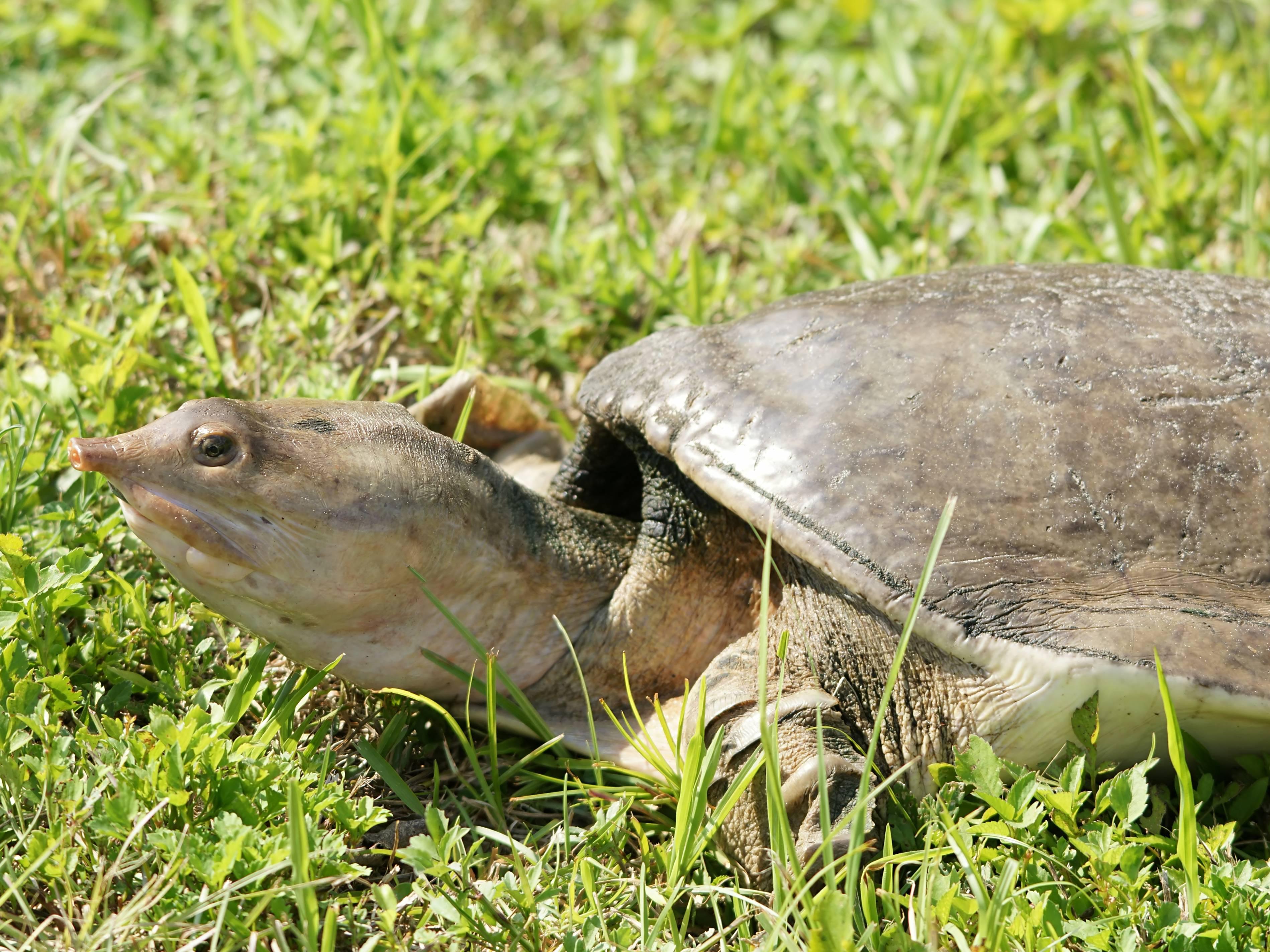 Трёхкоготные черепахи