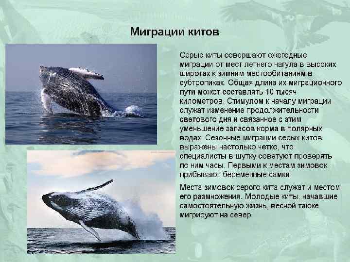 Гренландский (полярный) кит
