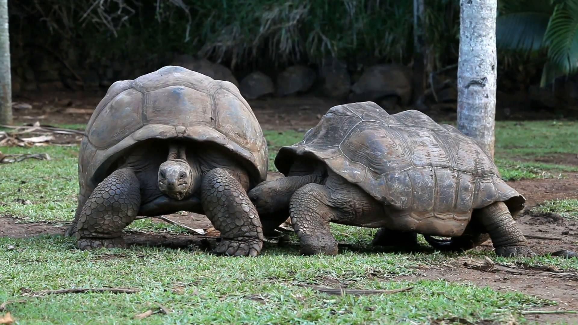Гигантские черепахи - giant tortoise