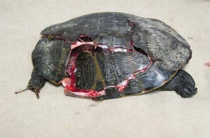 Красноухая черепаха не ест. черепаха ничего не ест. причины и последствия почему черепаха не ест сухой корм