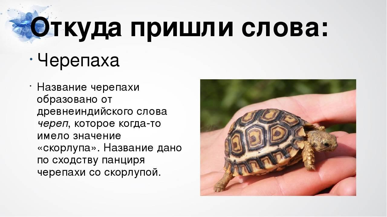Мифы, ошибки и заблуждения о черепахах. умны ли черепахи? все черепахи — не плохие пловцы