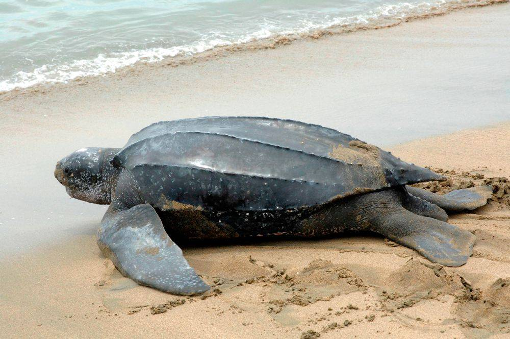 Кожистая черепаха (лут) – фото, описание, ареал, питание, враги, популяция