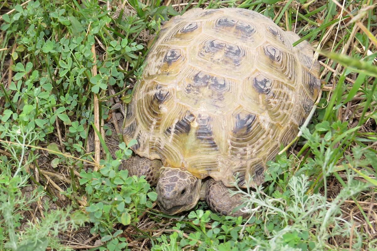 Среднеазиатская черепаха (agrionemys horsfieldii)