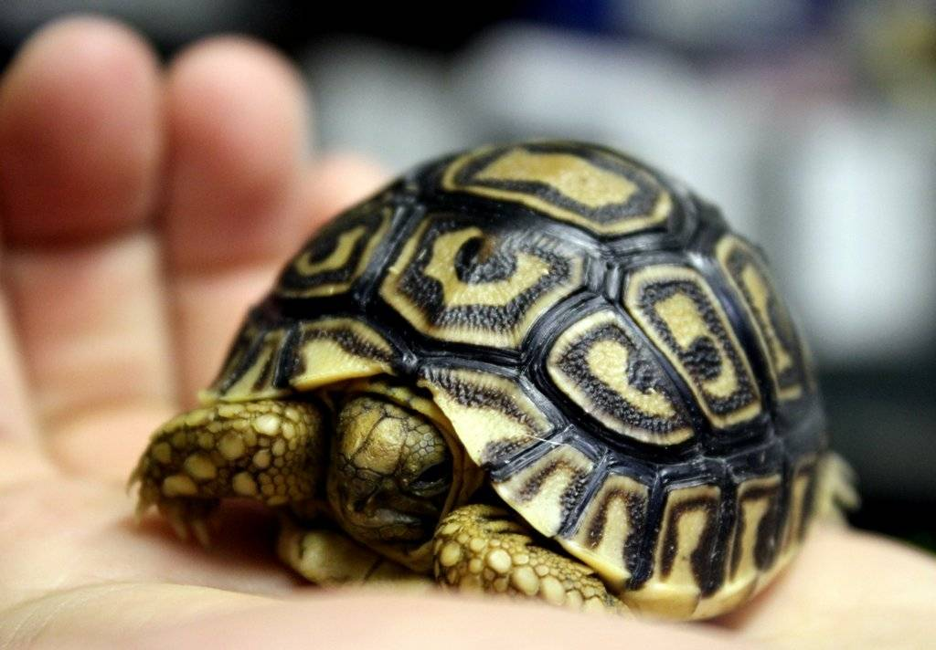 Леопардовая черепаха. пантеровая, леопардовая черепаха (geochelone pardalis)