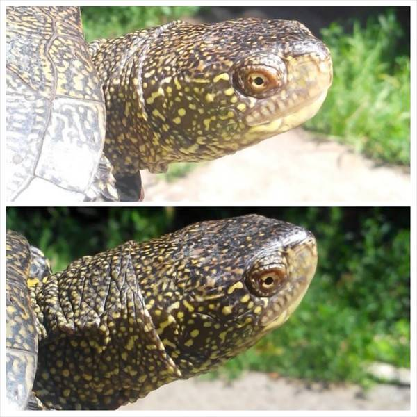 Как определить пол красноухой и сухопутной черепахи?