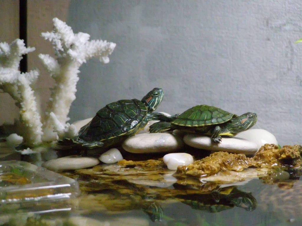 Размножение черепах в домашних условиях