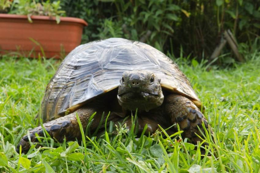 Тунисская черепаха - tunisian tortoise