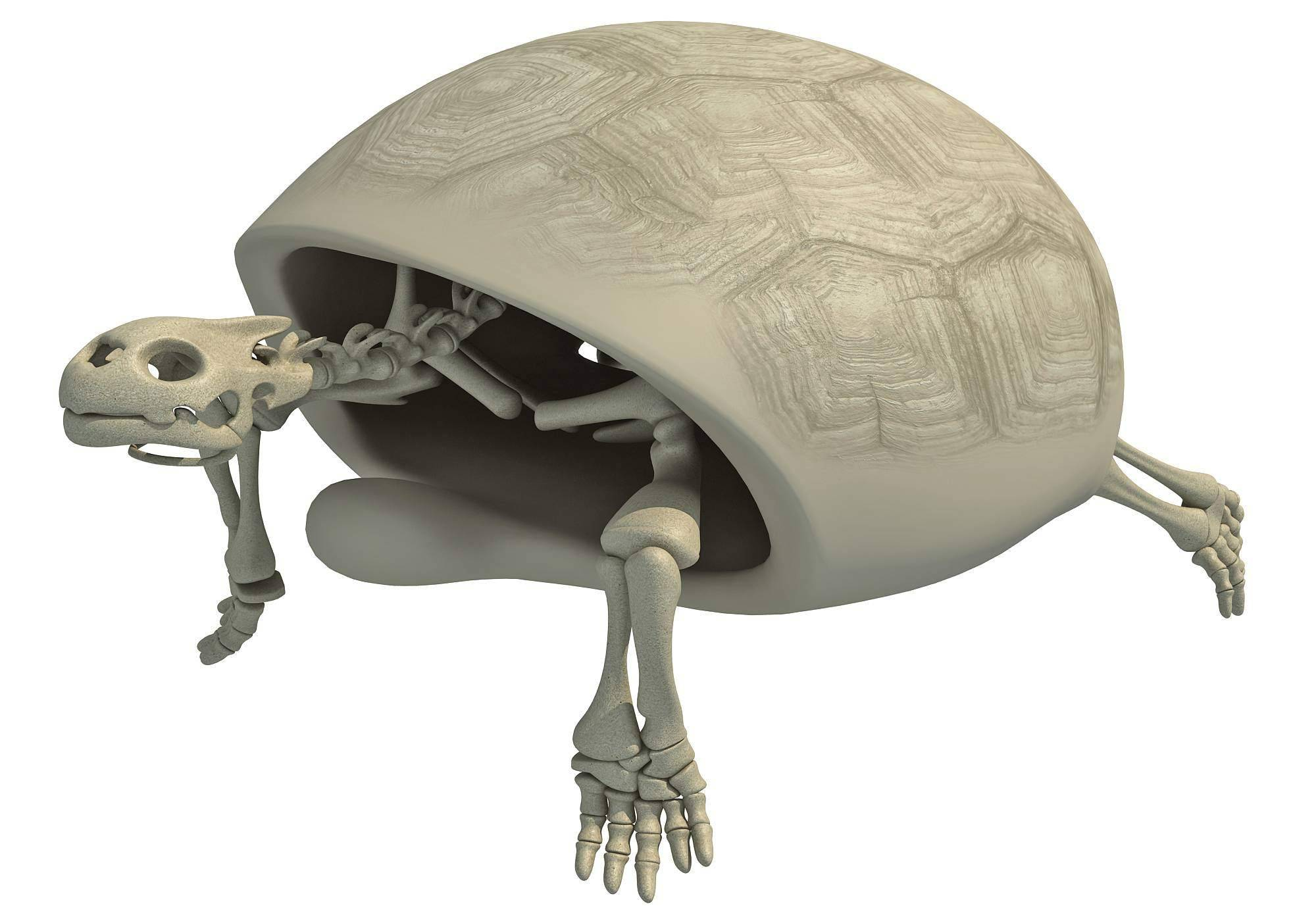 Позвоночник и панцирь черепах