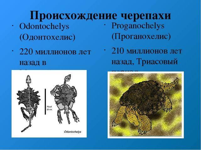 Одонтоглоссум (odontoglossum). уход, способы размножения в домашних условиях.