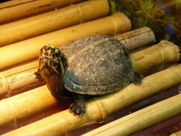 Красноухая черепаха, как с ней подружиться