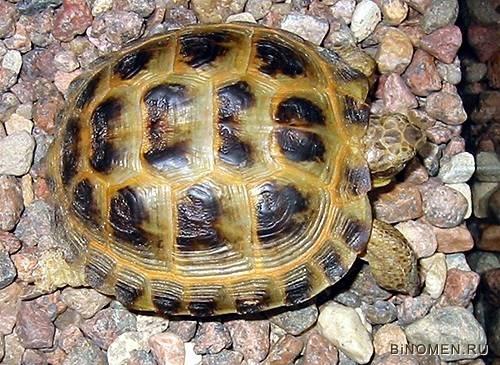 Карапакс черепах википедия