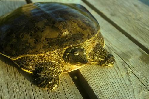 Трёхкоготные черепахи — википедия. что такое трёхкоготные черепахи