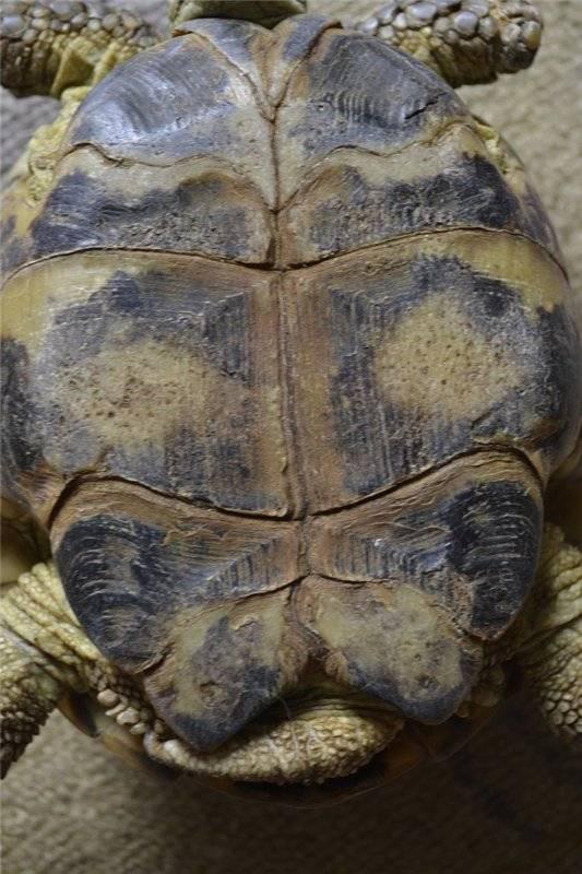 Пятна на панцире сухопутной черепахи | что говорят насекомые