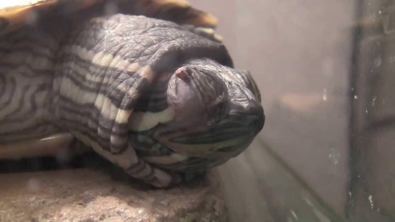 Как выглядит спящая красноухая черепаха. спячка красноухих черепах