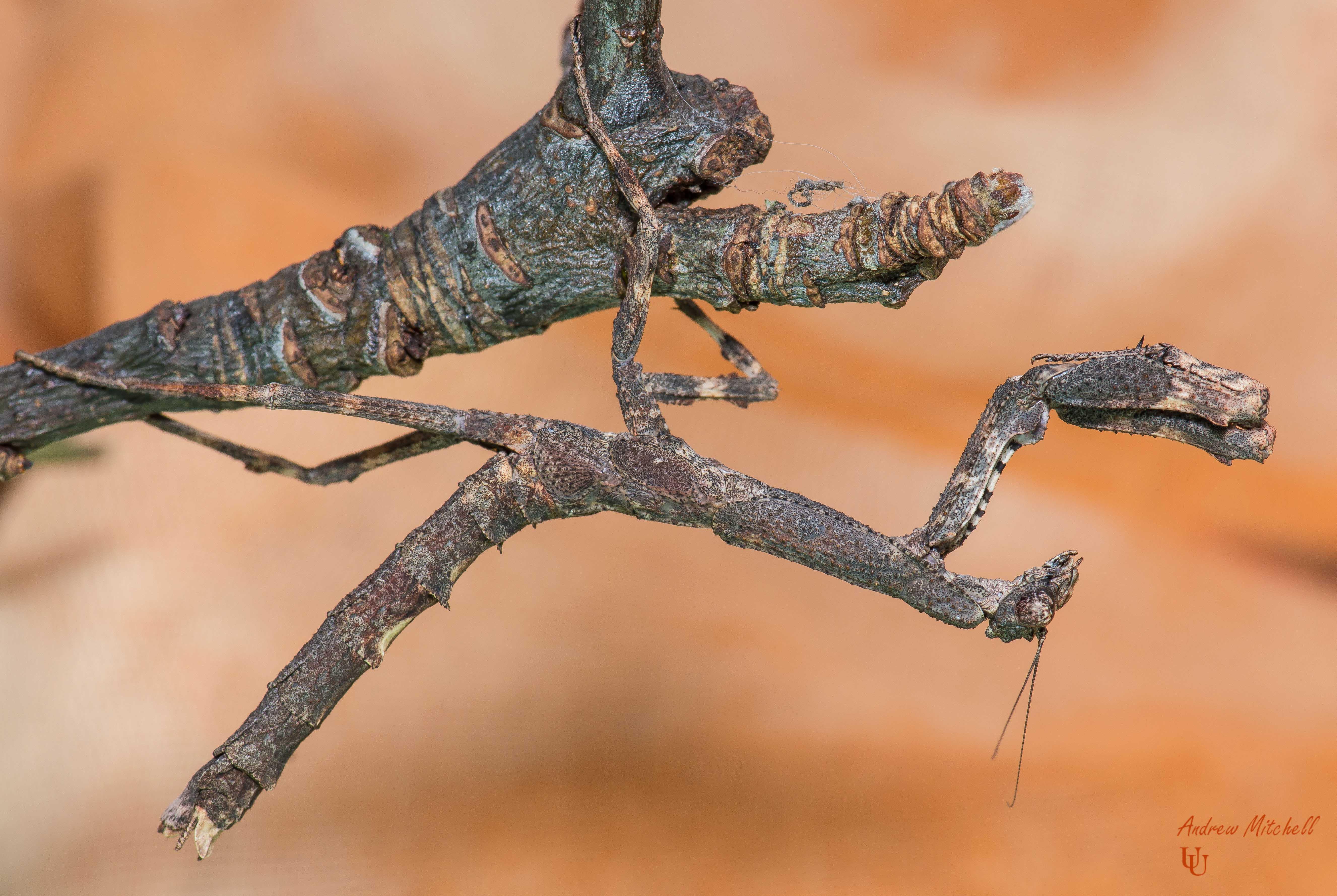 Африканский веточный богомол (Popa spurca)