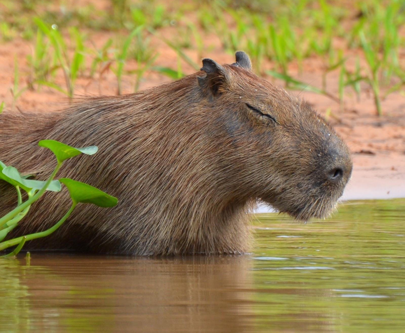 Капибара (водосвинка)
