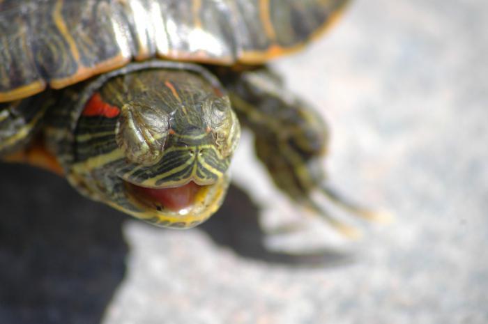 Впадают ли маленькие водные черепашки в спячку. впадают ли в спячку красноухие черепахи. как определить, болеет черепаха или впала в спячку