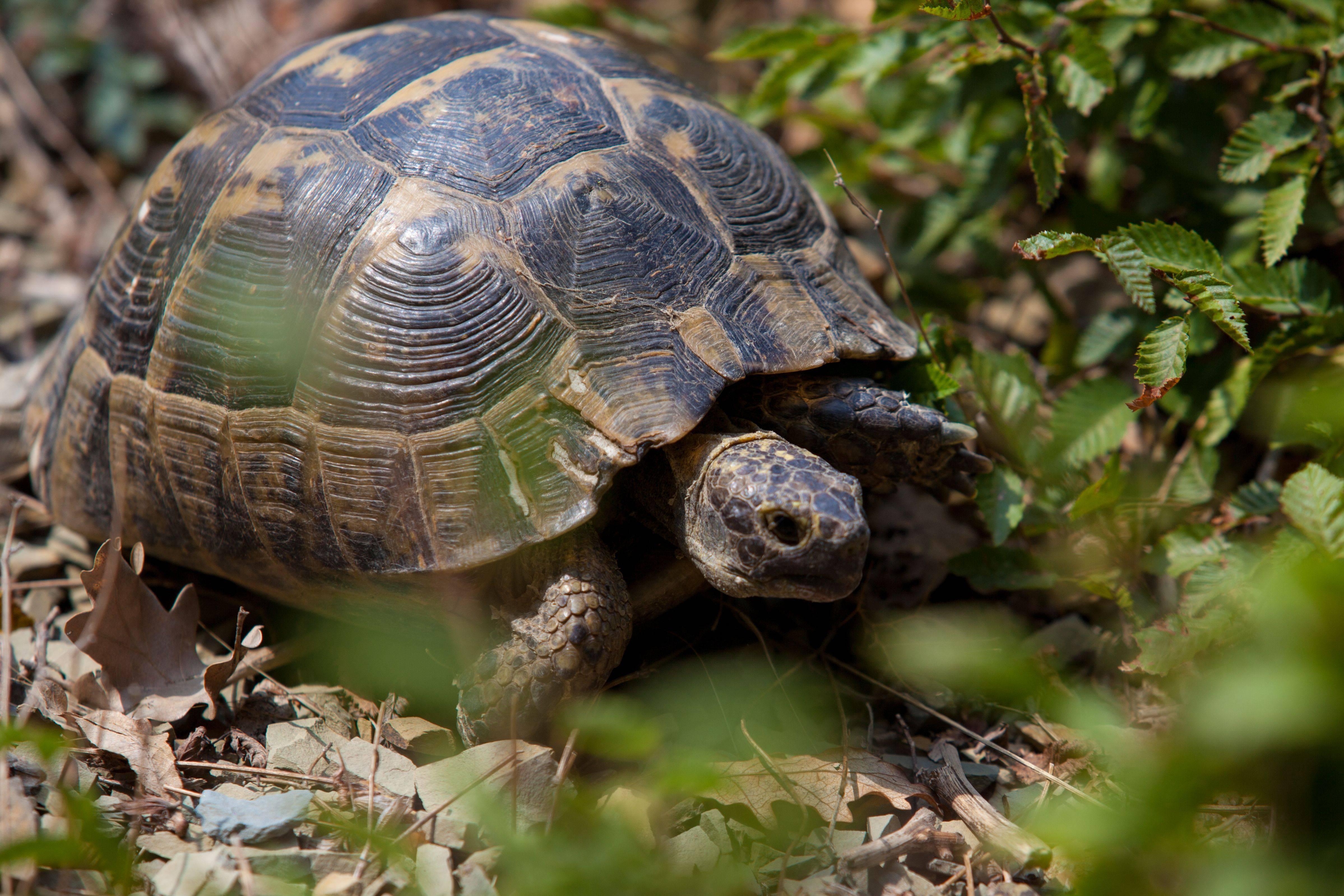 Греческая черепаха (средиземноморская черепаха)