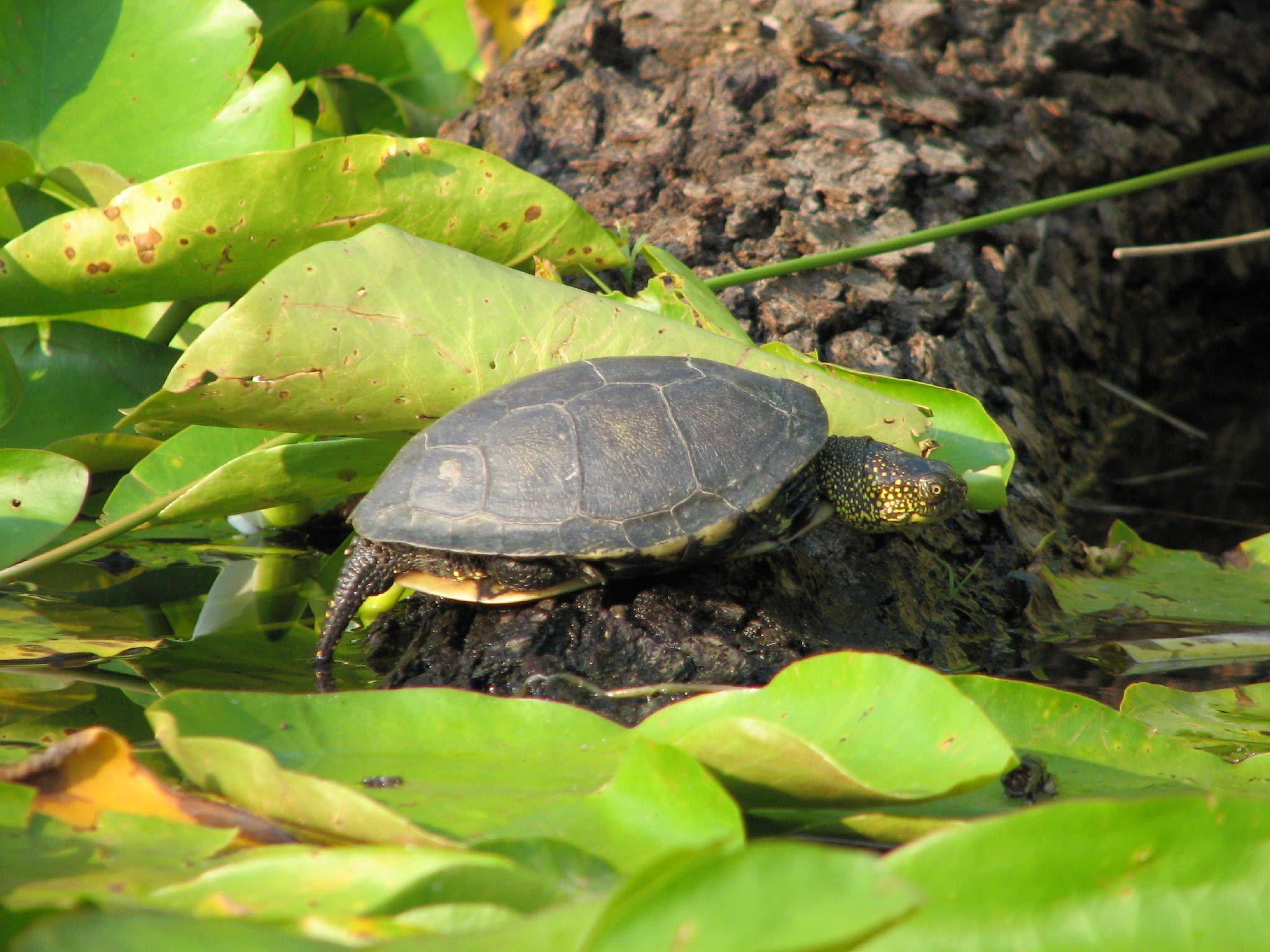 Содержание и уход за болотной черепахой в домашних условиях