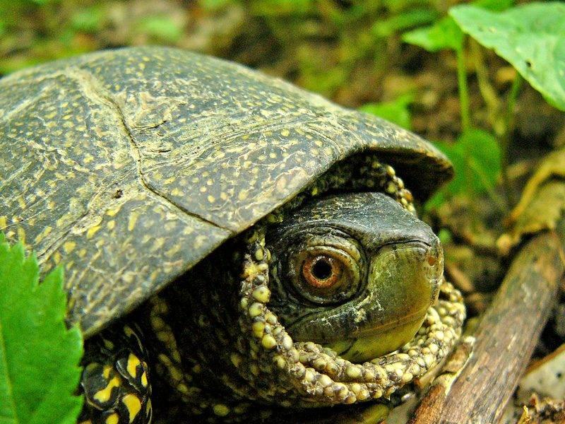 Болотная черепаха: содержание,кормление,уход,описание,разведение,фото,видео.
