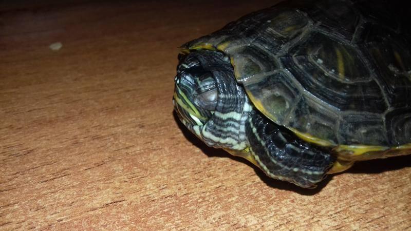 Что делать если у красноухой черепахи покраснели и опухли глаза?