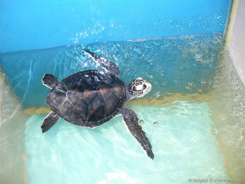 Логгерхед – мороская черепаха