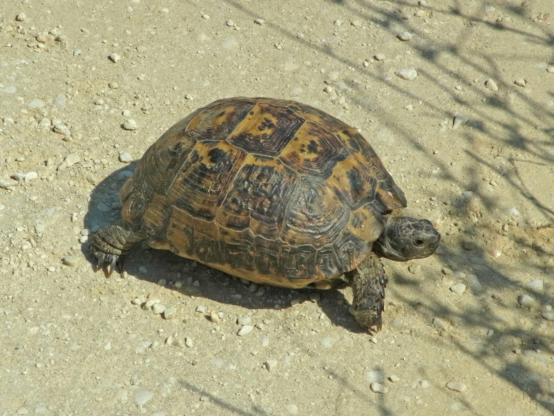 Греческая черепаха - greek tortoise