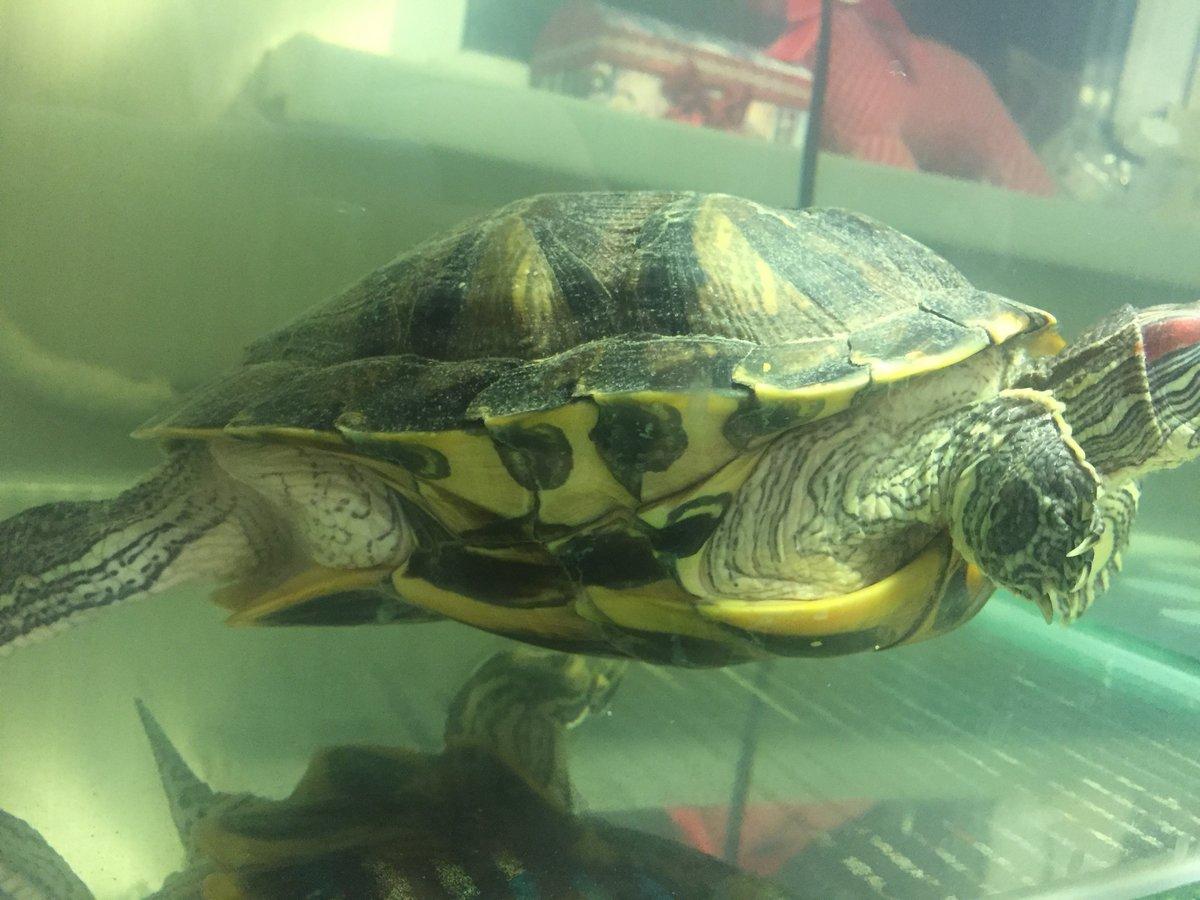 Водная черепаха аллергия