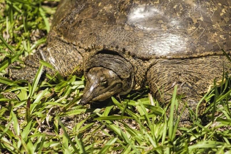 Трёхкоготные черепахи — википедия