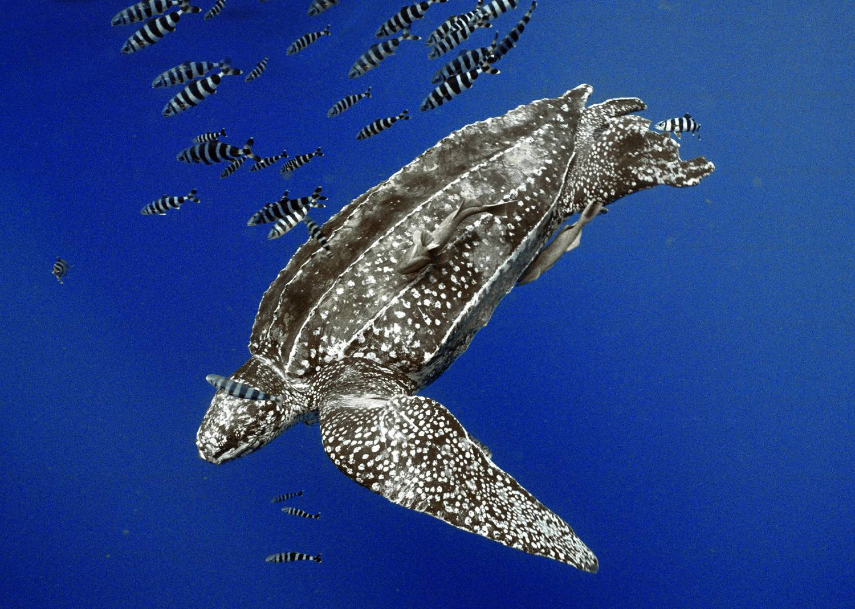 Кожистая черепаха. фото и видео кожистой черепахи