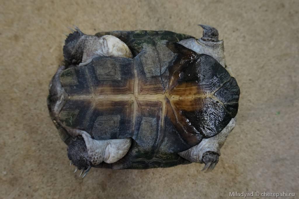 Африканская пеломедуза - african helmeted turtle