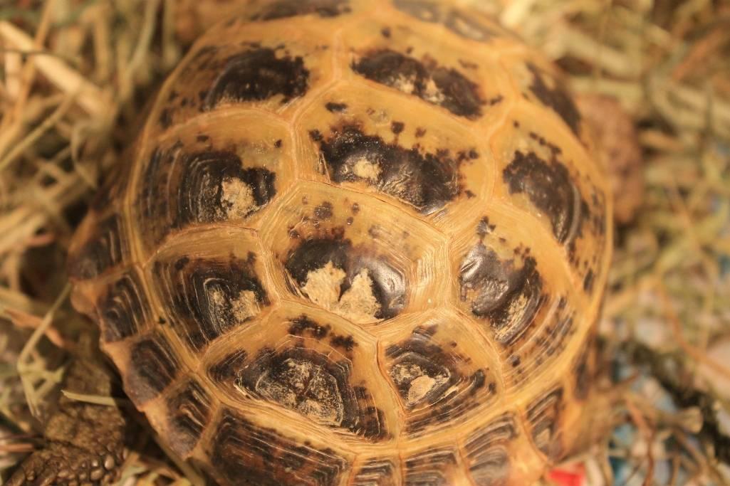 Грибок у красноухой черепахи: симптомы, лечение, фото