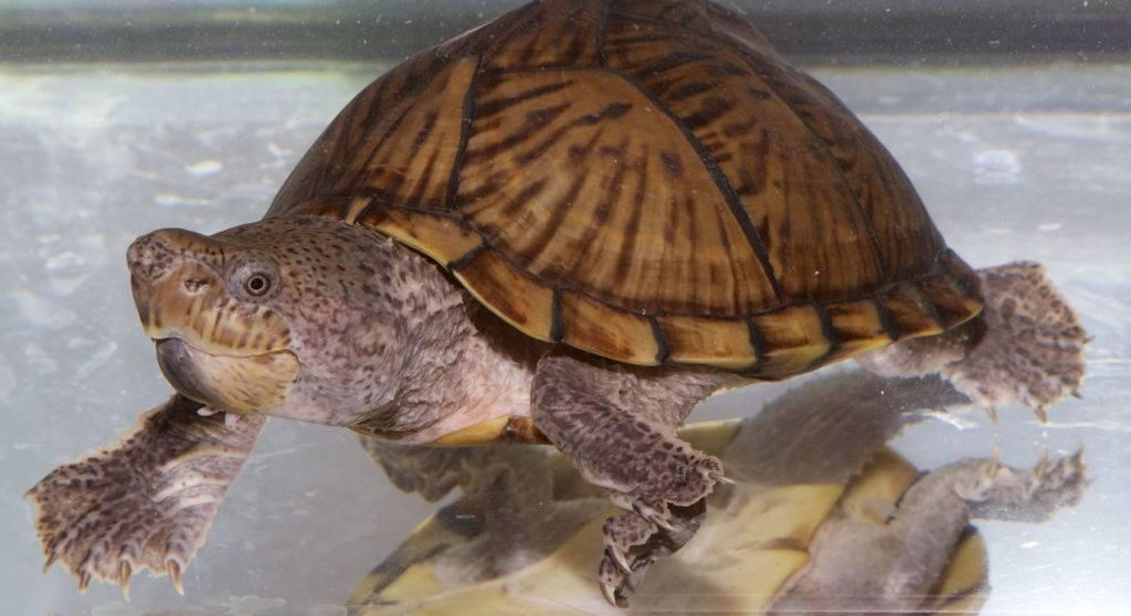 Мускусная обыкновенная черепаха: содержание, описание, питание и размножение