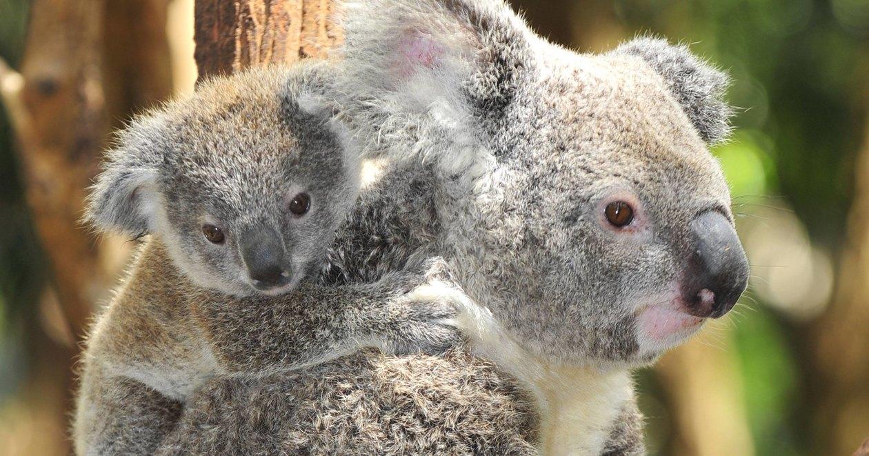 Коала: описание, фото, образ жизни животного