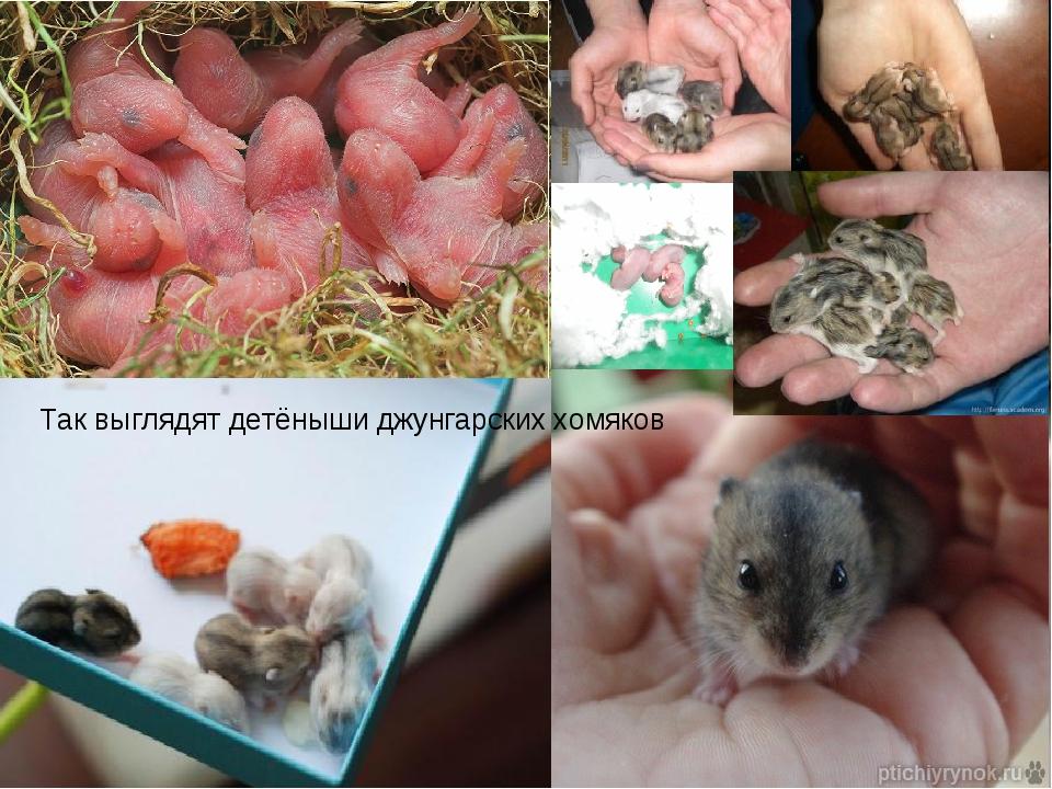 Как размножаются хомяки в домашних условиях и как их разводить