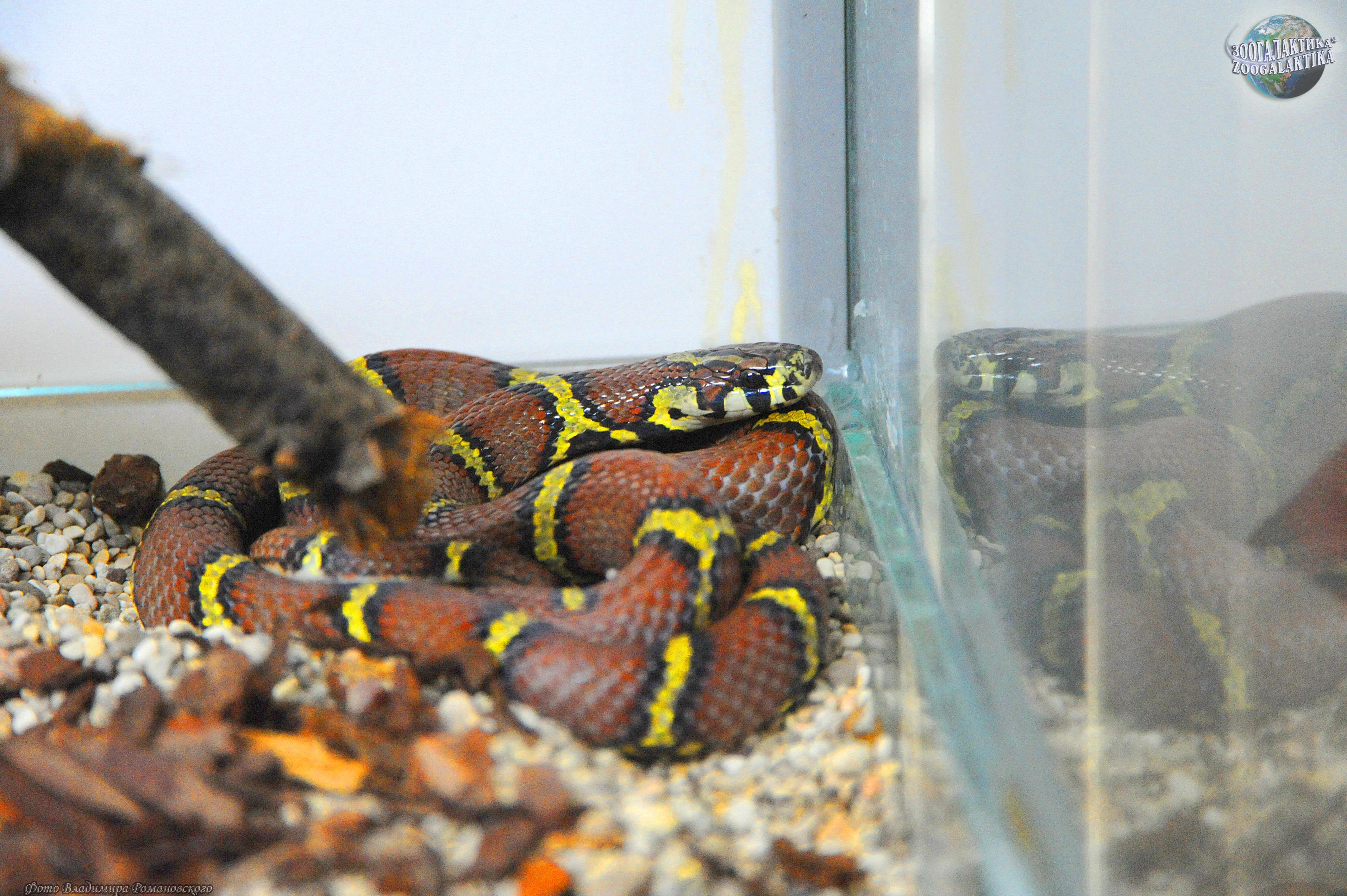 Молочная змея в домашних условиях