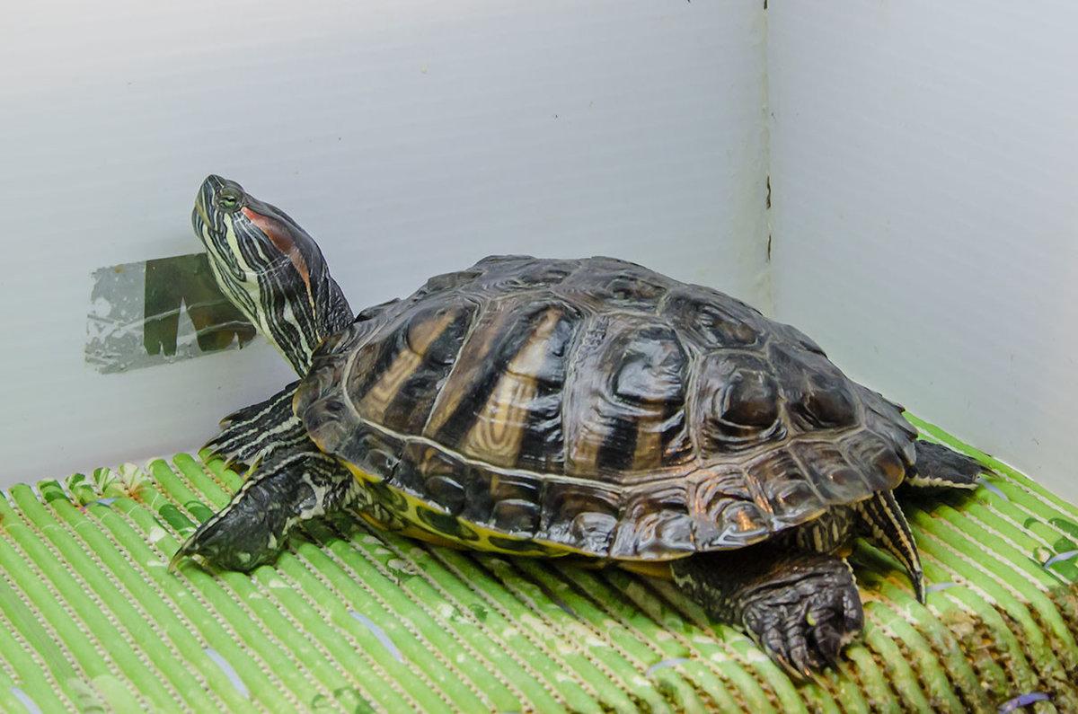 Имена для черепах - как можно назвать черепаху девочку, мальчика?